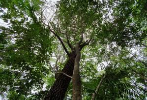 Angelim abraça jatobá em floresta restaurada no Mato Grosso Foto: Ana Lucia Azevedo / Agência O Globo