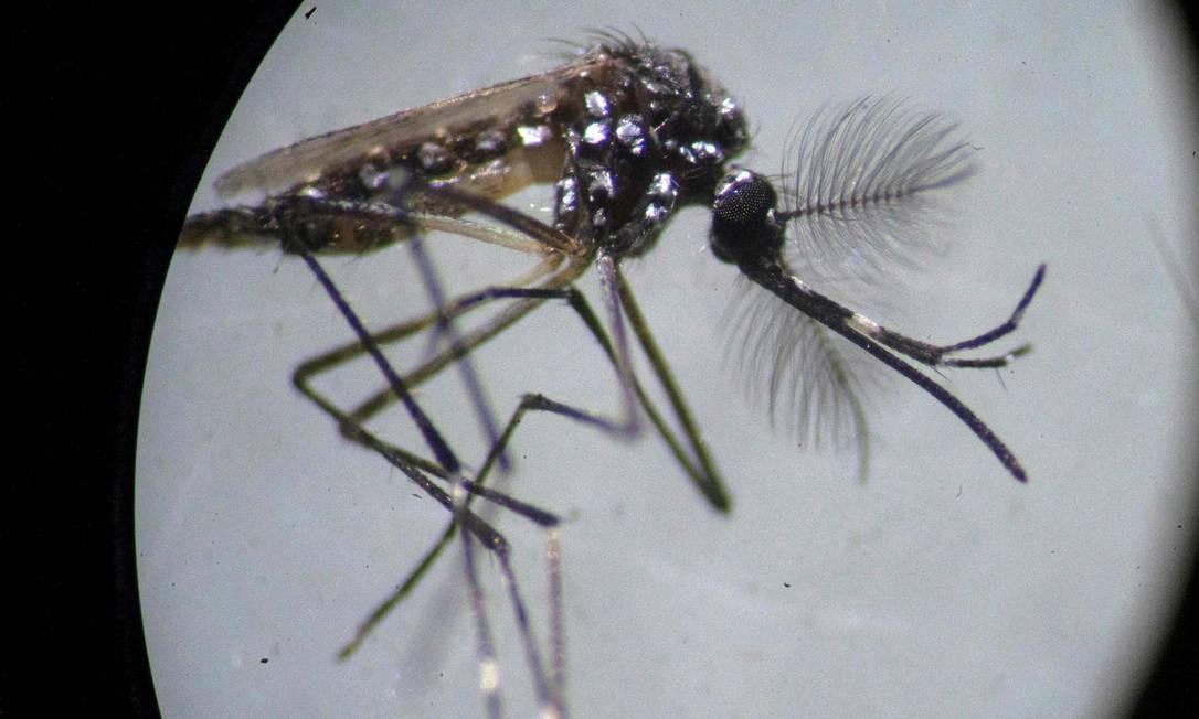 Um exemplar do 'Aedes aegypti' visto em microscópio; número de cidades em risco de infestação pelo mosquito caiu de 507 para 428 Foto: Mauro Pimentel / AFP