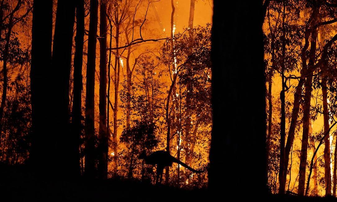 Cangurus também foram afetados pelos incêndios que se alastram pela Austrália Foto: Brett Hemmings / Getty Images