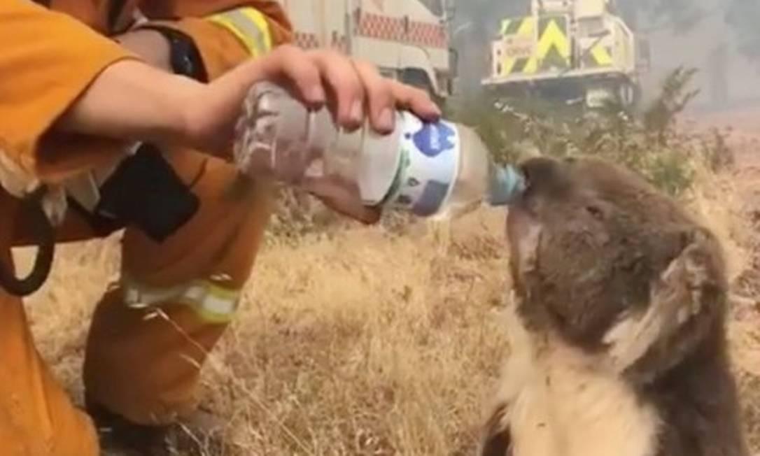 Bombeiro dá água para coala durante operações de combate a incêndios Foto: Oakbank Balhannah / Reuters