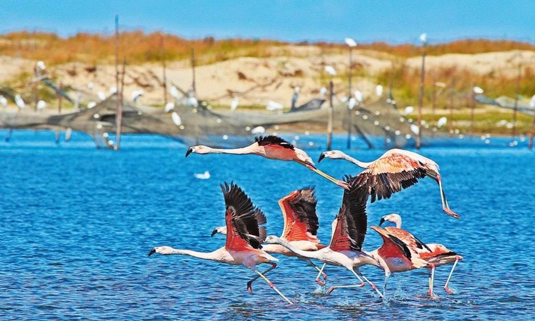 Flamingos no Parque da Lagoa do Peixe: novo chefe da unidade propôs que local recebesse título de área de proteção ambiental, o que permitiria ocupação humana e atividades produtivas Foto: Juan Andres Anza