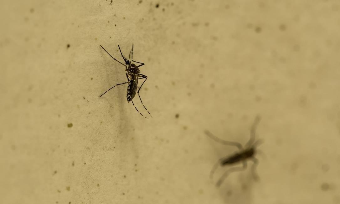 O mosquito 'Aedes aegypti', vetor da dengue: entre 1º de janeiro e 7 de dezembro de 2019, país teve 1,53 milhão de notificações da enfermidade. Foto: Brenno Carvalho