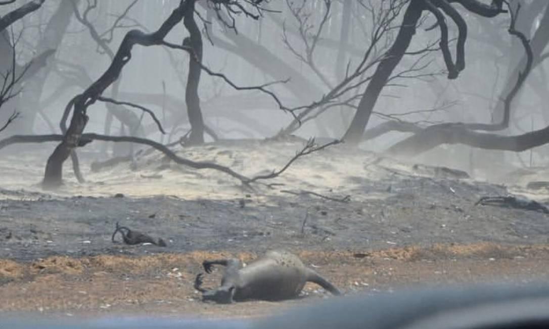Canguru morto pelo incêndio florestal Foto: Reprodução