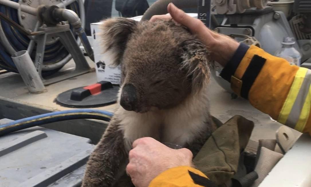 Coala resgatado na Ilha dos Cangurus Foto: Reprodução