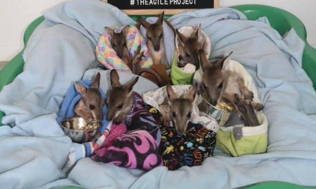 Os filhostes de cangurus, que foram resgatados e se recuperam juntos em piscina infantil Foto: Reprodução/The Agile Project