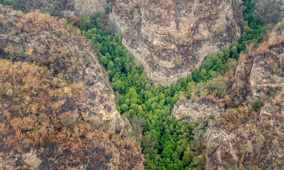 Os pinheiros pré-históricos que ficam em local não divulgado dentro do Parque Nacional Wollemi, a noroeste de Sydney, na Austrália Foto: Divulgação