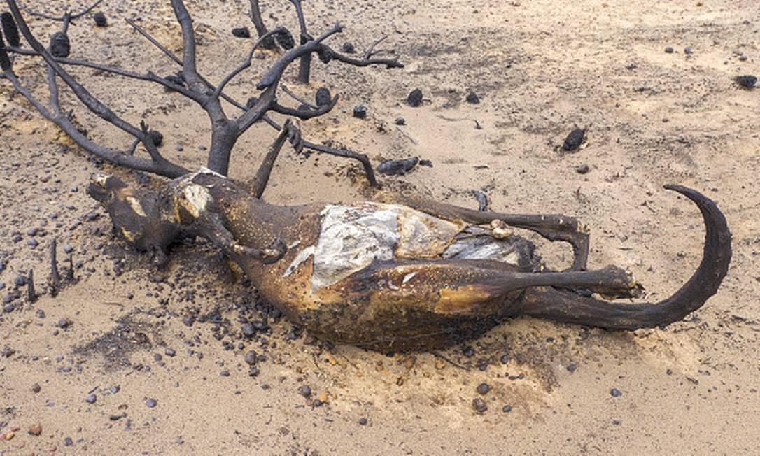Os animais, que foram atingidos pelas chamas Foto: James D. Morgan / Getty Images