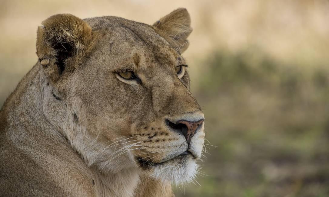 Uma leoa vista durante nos arredores do 'camp' Nimali Tarangire, na Tanzânia. O país é considerado um dos melhores lugares para avistar os 'big five' Foto: Divulgação