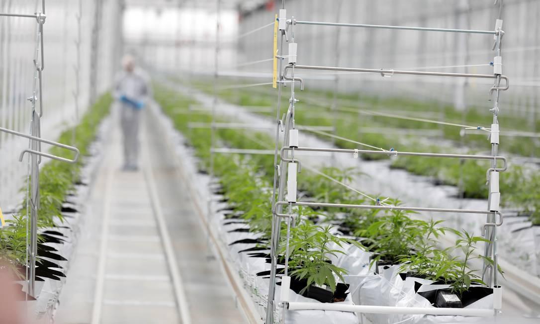Uma plantação de cannabis em Portugal, onde o plantio é permitido Foto: Rafael Marchante/Reuters / REUTERS