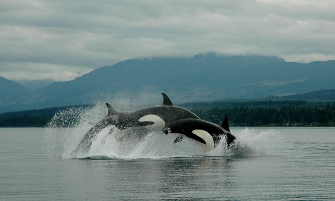 Orcas estão entre as espécies identificadas por algoritmo de inteligência artificial Foto: Divulgação/Google
