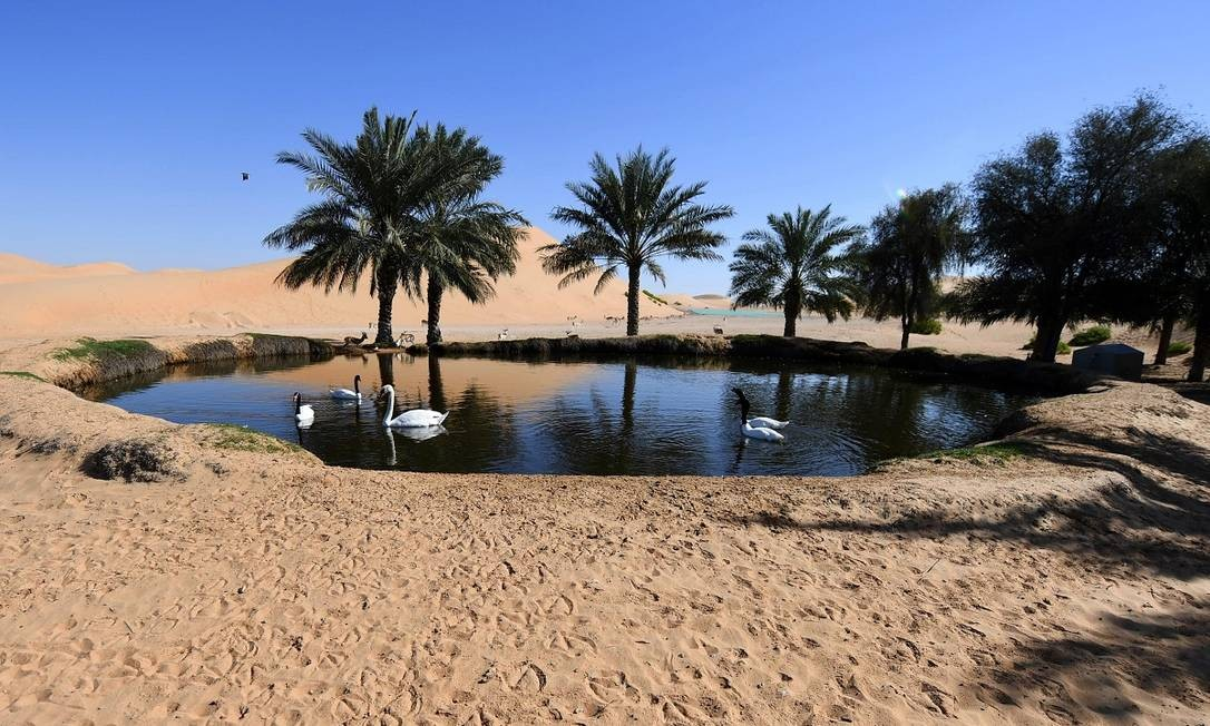 Cisnes nadam num pequeno lago, parte do oásis de Al Ain, no meio do deserto dos Emirados Árabes Unidos Foto: Karim Sahib / AFP