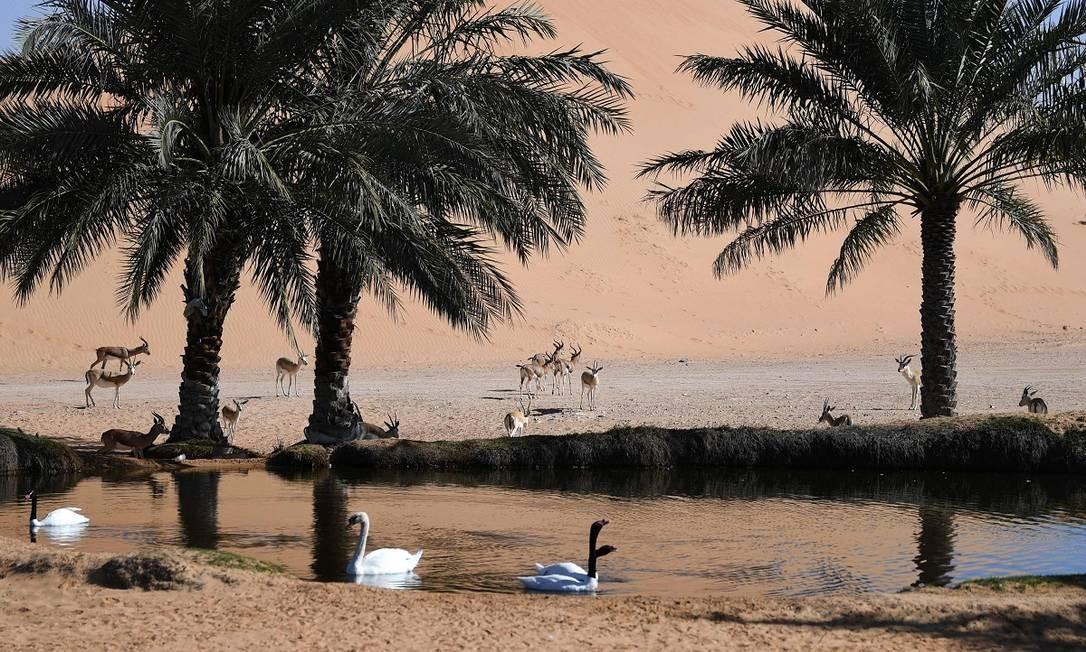 O oásis é um local muito frequentado por animais como cisnes e gazelas Foto: Karim Sahib / AFP