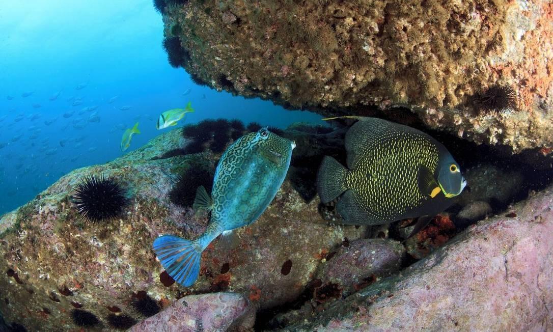 Peixe-cofre colmeia, frade e salemas ao fundo: espécies avistadas nas Ilhas Tijucas Foto: Áthila Bertoncini/PROJETO ILHAS DO RIO / Divulgação
