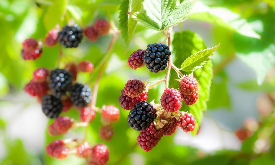 Folha da amora tem flavonoides e pode ajudar com sintomas Foto: PaoloBis / Getty Images