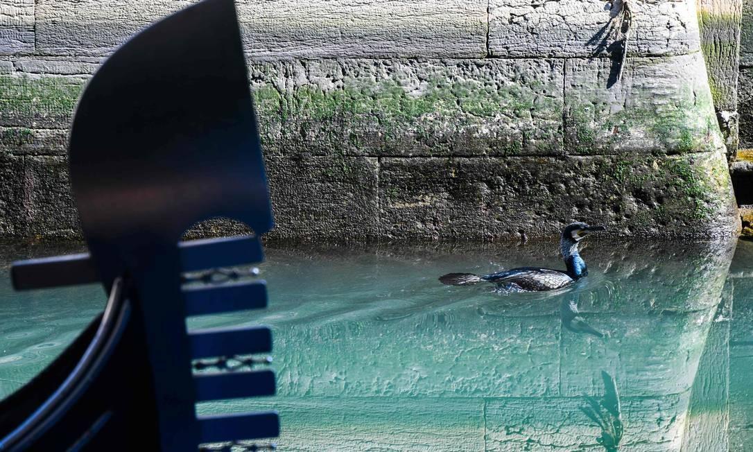 Efeito coronavírus: ave marinha nada pelas águas mais claras em canal de Veneza, devido à interrupção da circulação de pessoas Foto: Andrea Pattaro / AFP