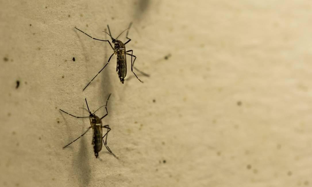 O mosquito Aedes aegypti é o responsável por transmitir doenças como dengue, febre amarela, Zika e chicungunha. Foto: Brenno Carvalho 23/11/2018 / Agência O Globo