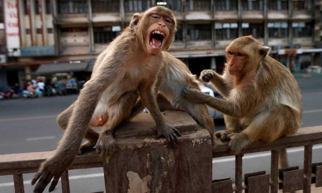 Macacos numa grade perto do templo Prang Sam Yod, em Lopburi, na Tailândia: sem turistas para alimentá-los, os animais tem invadido a cidade em busca de comida Foto: Soe Zeya Tun / Reuters