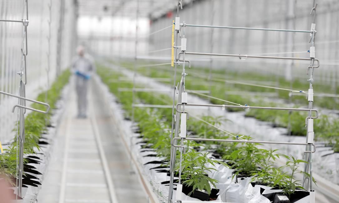 Foto de arquivo mostra trabalhador inspecionando plantação de cannabis Foto: Rafael Marchante / Reuters