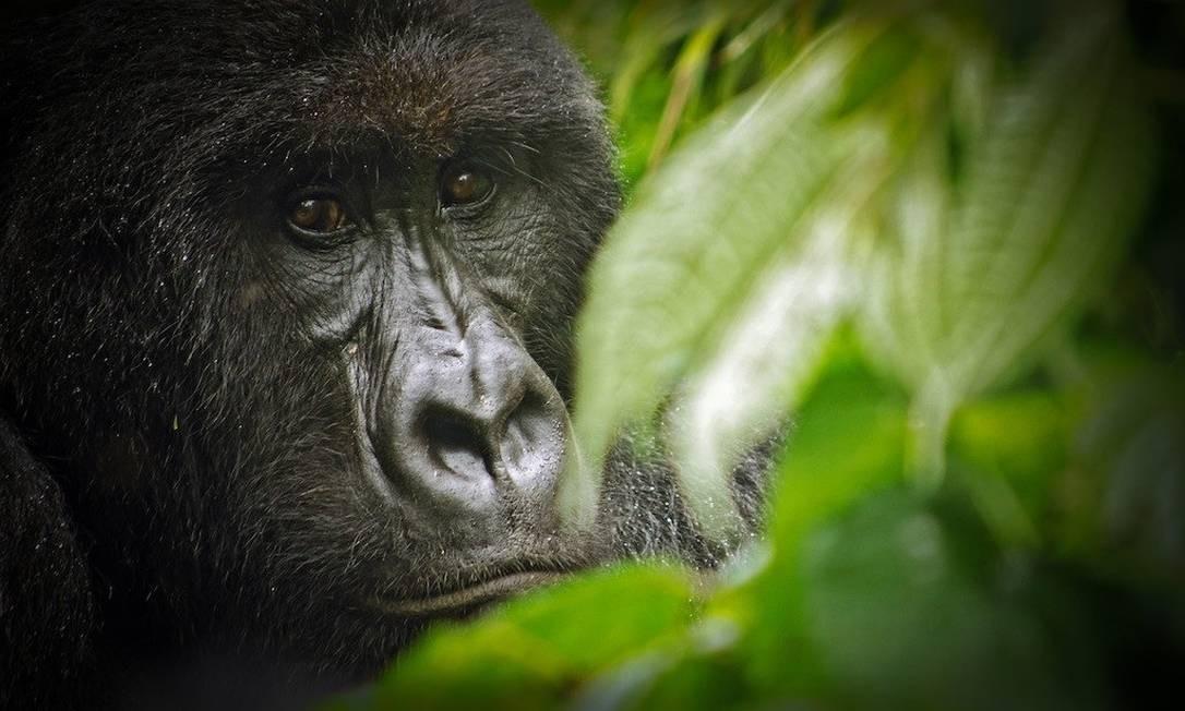 Um gorila-da-montanha no Parque Nacional Virunga, na República Democrática do Congo Foto: Creative Commons / Wikipedia / Reprodução