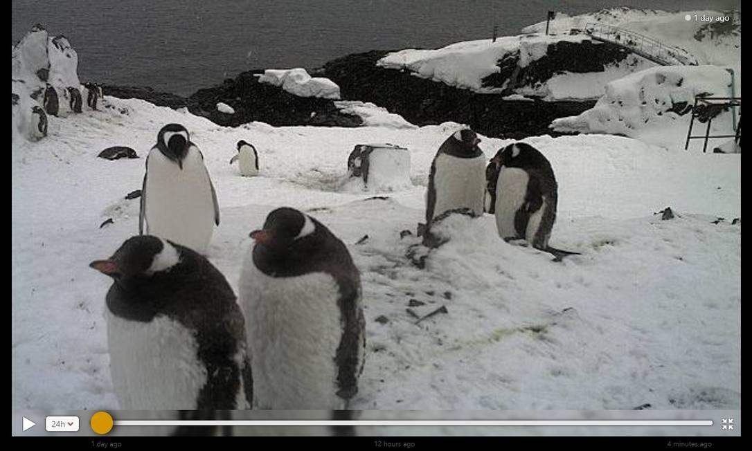 Pinguins aparecem em frente à webcam instalada numa base científica na Ilha de Brabant, na Antártica Foto: Reprodução / Windy.com