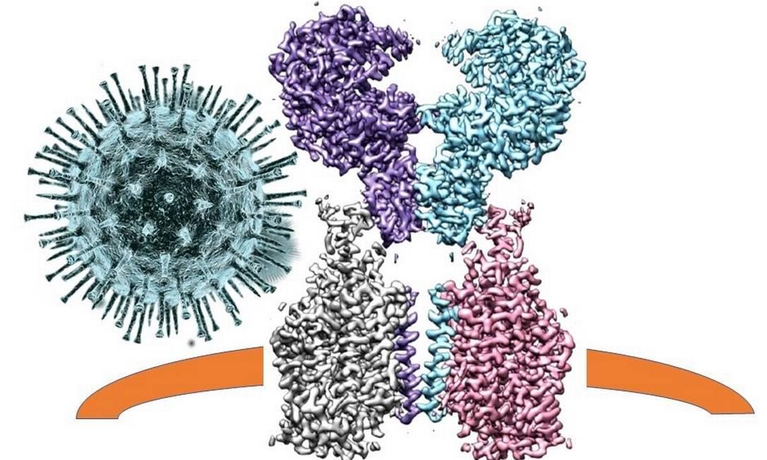 A porta de entrada do coronavírus é uma proteína inserida na membrana externa das células, que captura o vírus pelas espículas e o lança para dentro Foto: Reprodução