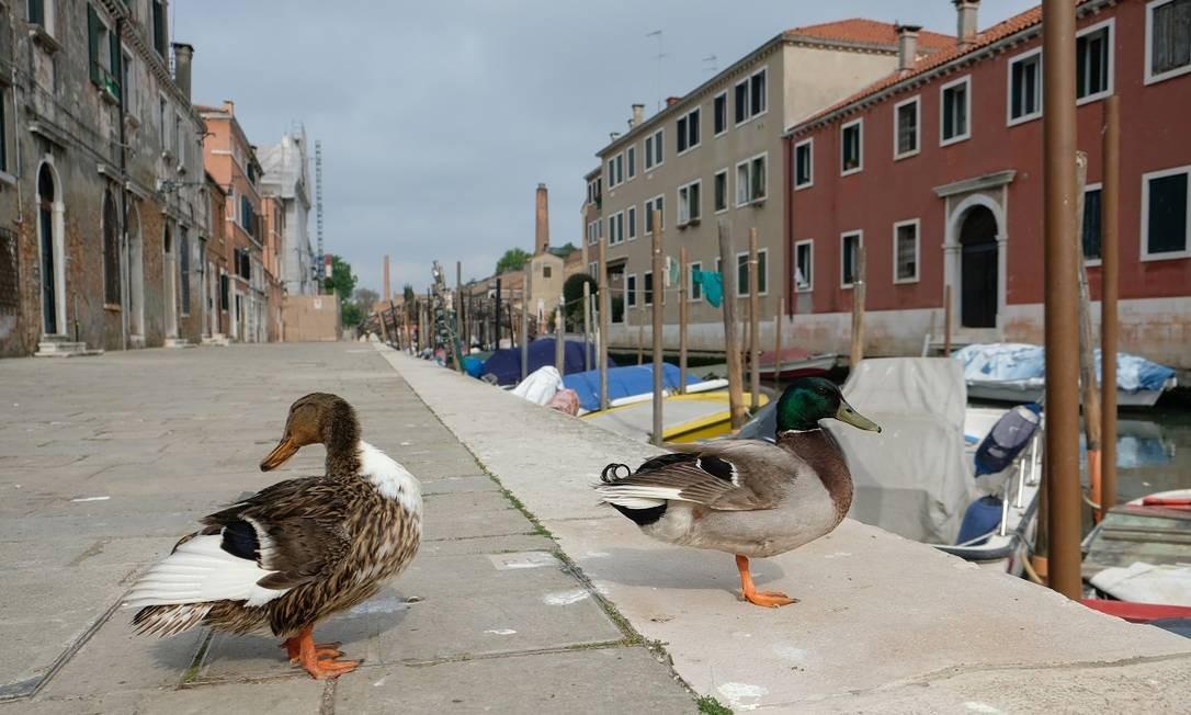 Sem tanta gente nas ruas, patos parecem tranquilos nas calçadas de Veneza Foto: Manuel Silvestri / Reuters