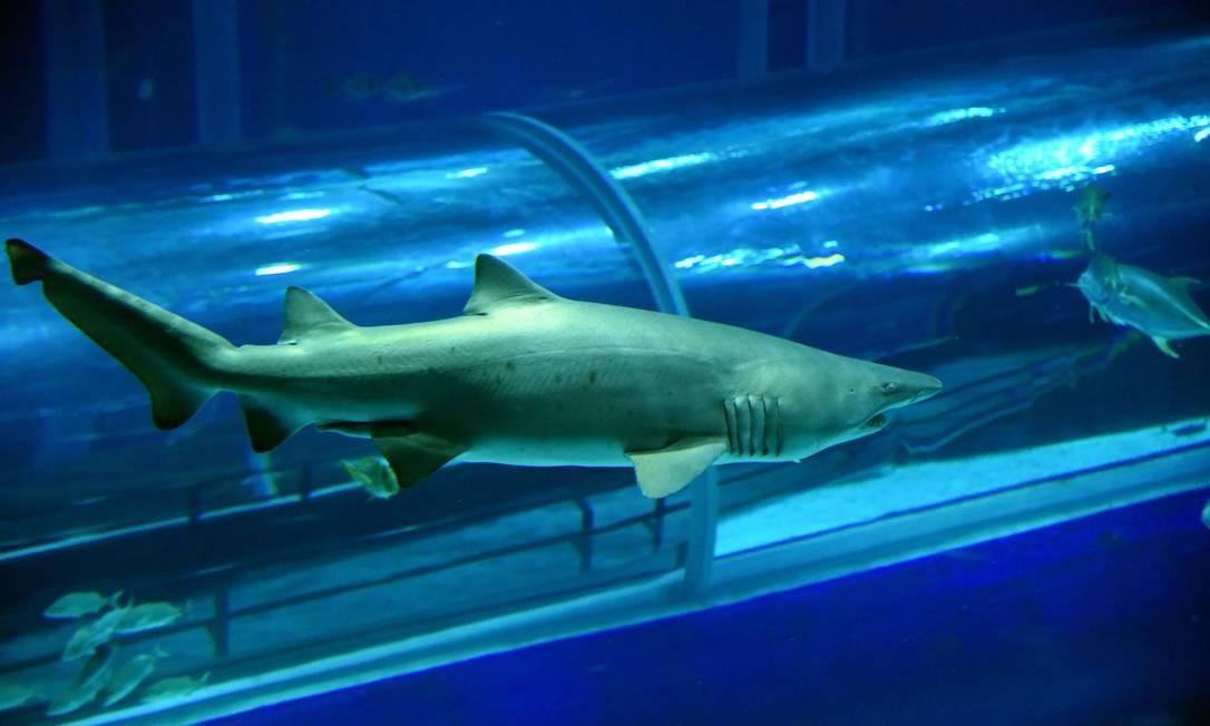 Público pode matar as saudades dos tubarões do AquaRio em transmissão ao vivo, 24 horas por dia Foto: Alexandre Macieira