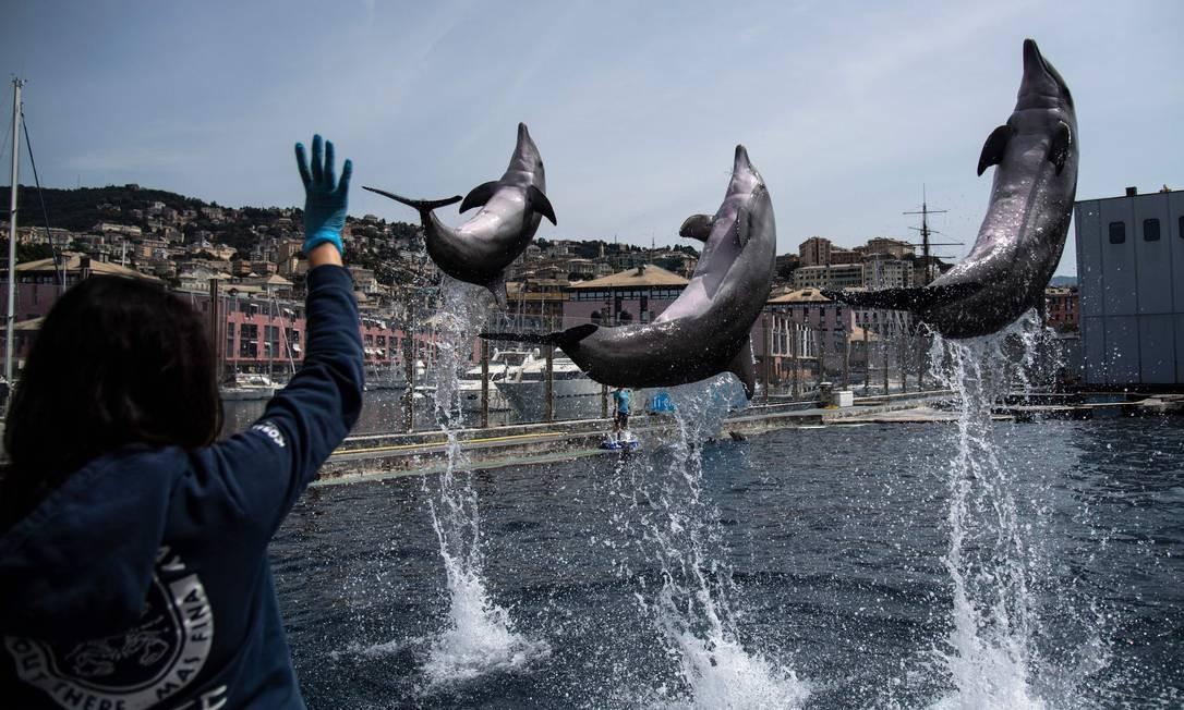 Golfinhos atuam durante a prática no Aquário de Gênova, na Itália, que deve reabrir em 28 de maio, após mais de dois meses de lockdown Foto: MARCO BERTORELLO / AFP