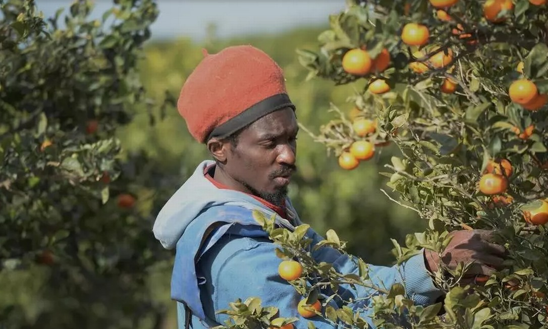 Fazendeiros espanhóis acostumados a contratar trabalhadores do leste europeu ou do norte da África, acabaram recrutando migrantes, regularizados ou ilegais, para trabalhar na colheita Foto: CRISTINA QUICLER / AFP