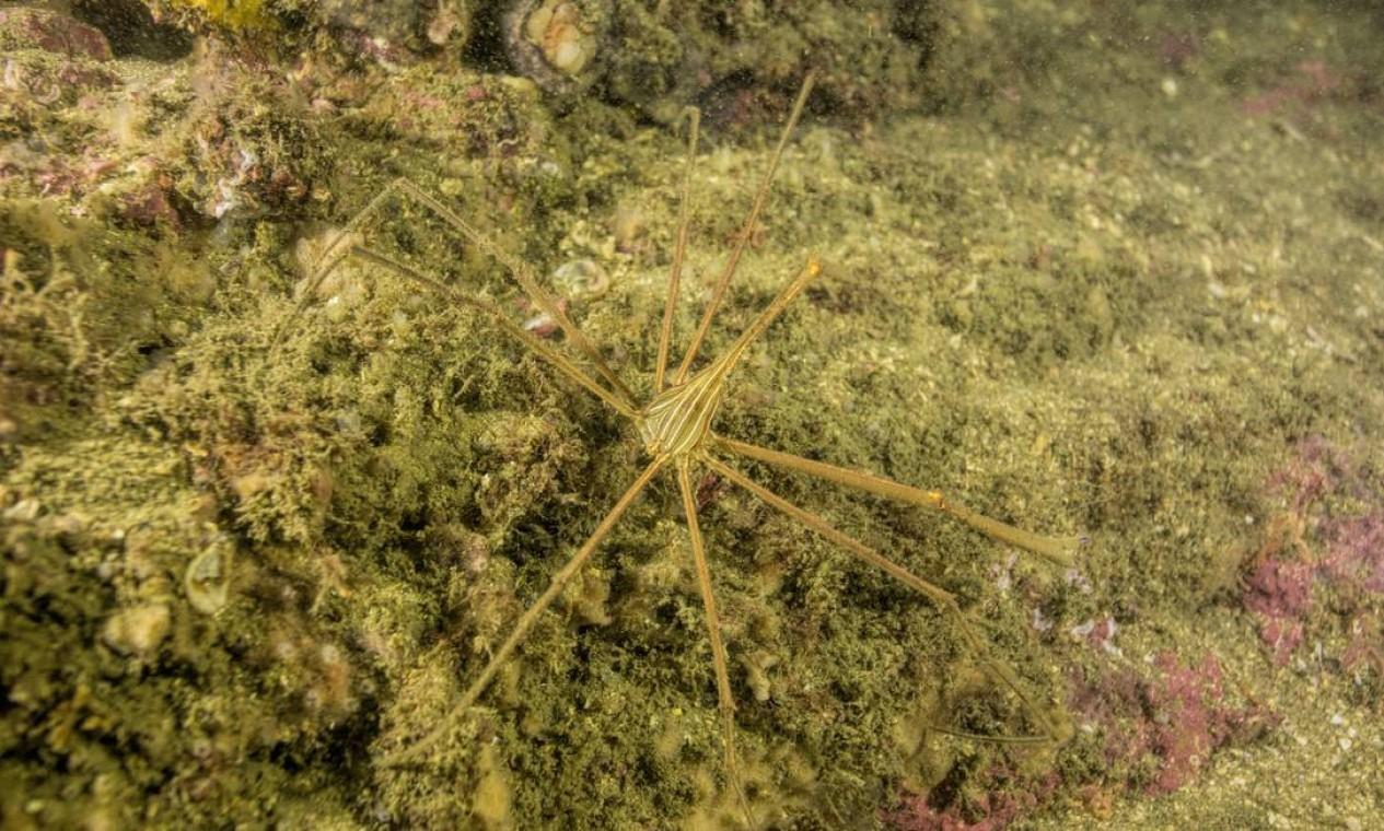 Ricardo Gomes encontrou também um caranguejo aranha Foto: Agência O Globo