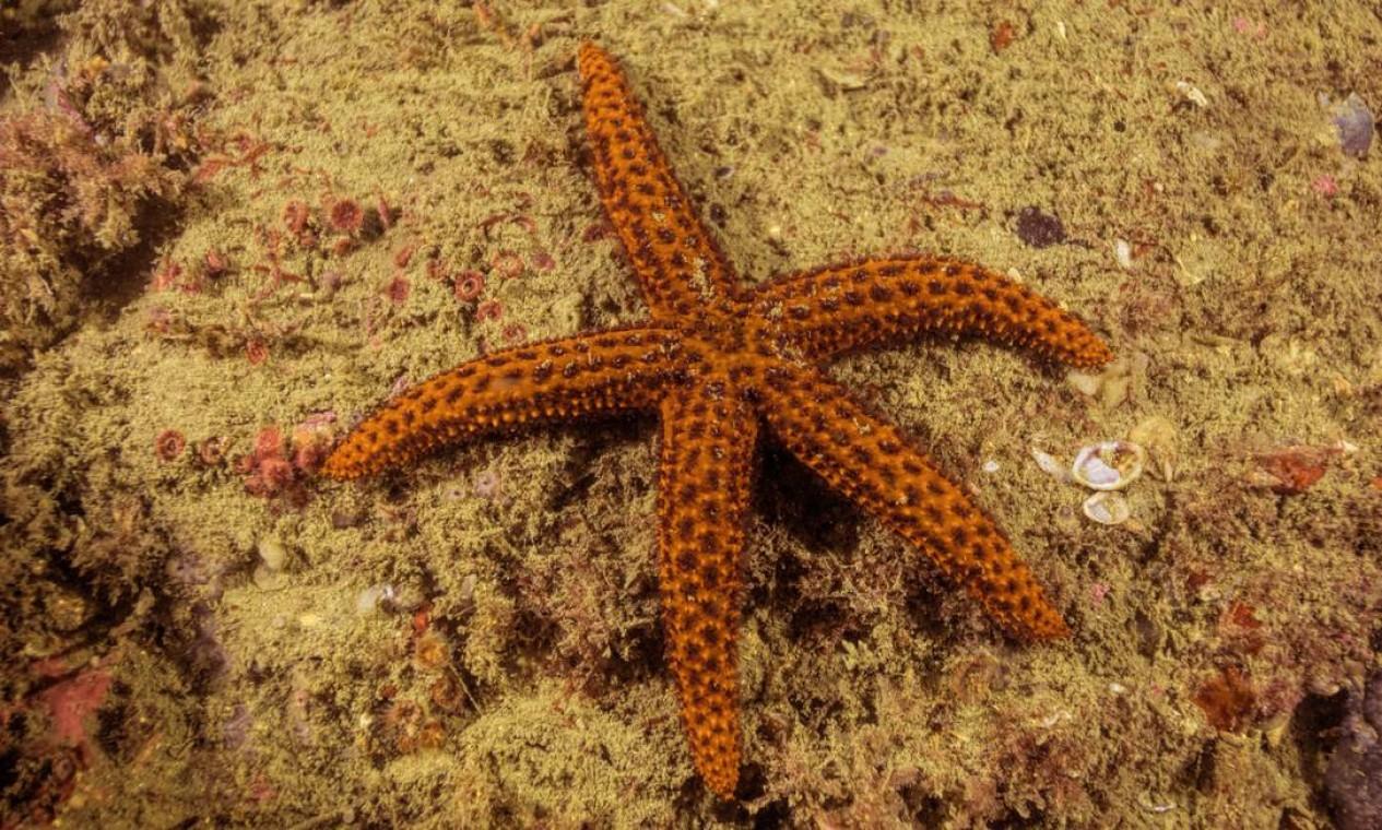 Estrela do mar conhecida como Othilia surpreende biólogo Ricardo Gomes durante mergulho na Baía de Guanabara Foto: Instituto Mar Urbano