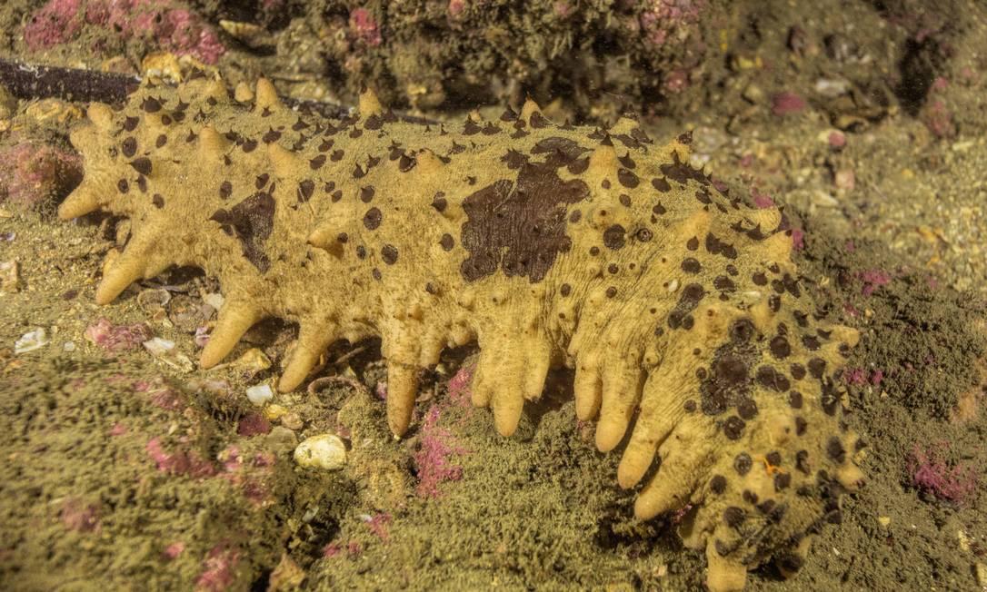 Pepino-do-mar é flagrado nas águas da Baía de Guanabara Foto: Instituto Mar Urbano