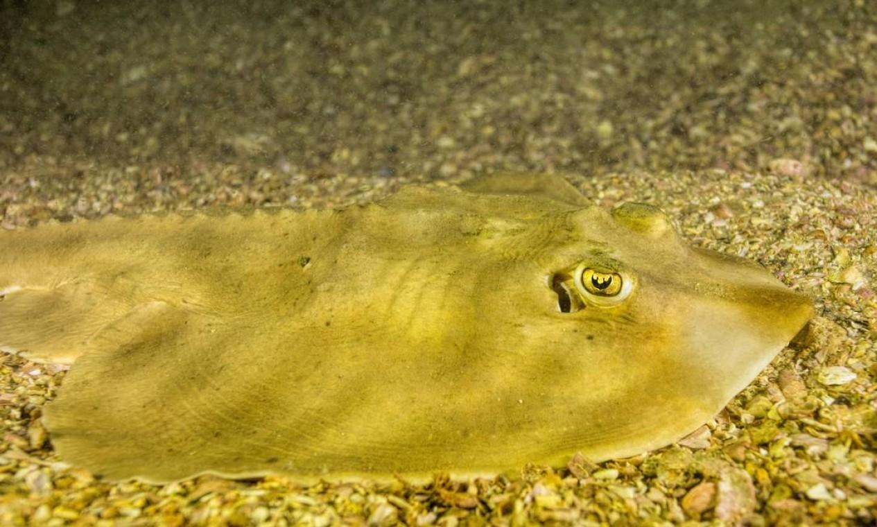 Biólogo também registrou a presença de raia viola de focinho curto Foto: Instituto Mar Urbano