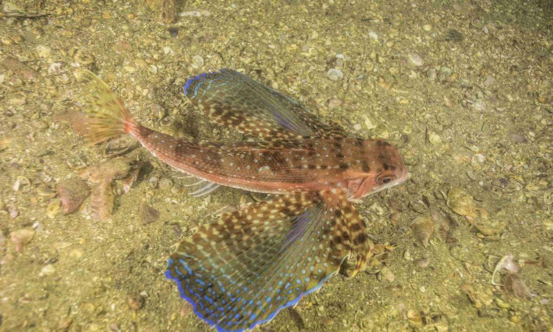 Cores vibrantes do falso voador, chamado também de coió, chamam atenção de biólogo em mergulho na Baía de Guanabara Foto: Instituto Mar Urbano