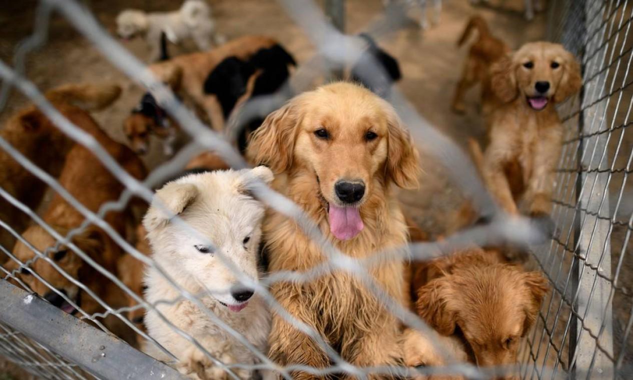 Cães resgatados em um abrigo nos arredores de Pequim, administrado pela ONG No Dogs Left Behind (Nenhum cão deixado para trás) Foto: NOEL CELIS / AFP