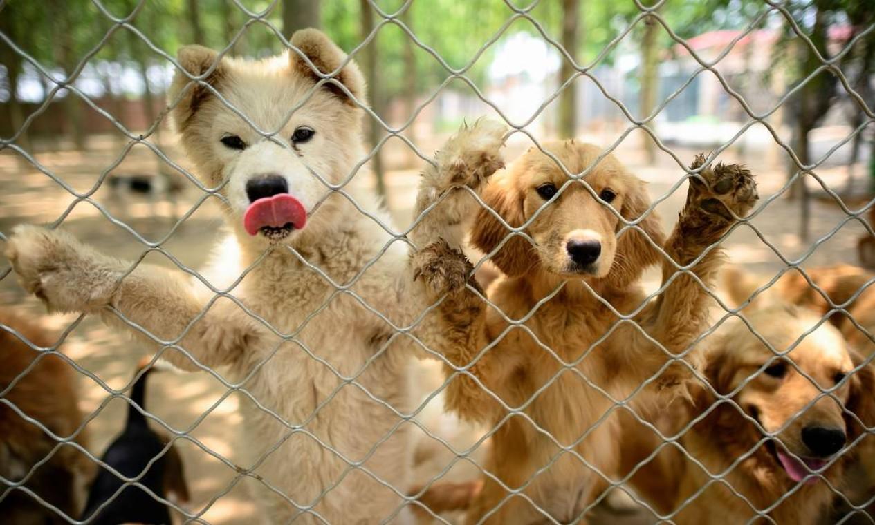 ONG Nenhum cão deixado para trás recebeu centenas de animais do comércio de carne de cachorro Foto: NOEL CELIS / AFP