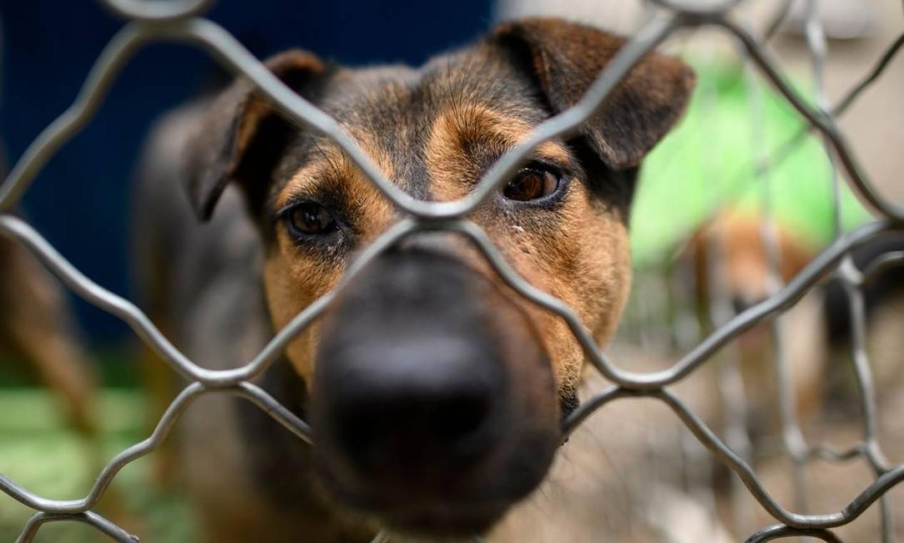 Nenhum cão deixado para trás recebeu centenas de animais do comércio de carne de cachorro, que são adotados por amantes de cães no exterior, e nos últimos meses recebeu muitos cães de raça pura de fazendas de criação que foram descartados devido à menor demanda do consumidor por animais de estimação durante o período. Epidemia de coronavírus COVID-19 Foto: NOEL CELIS / AFP