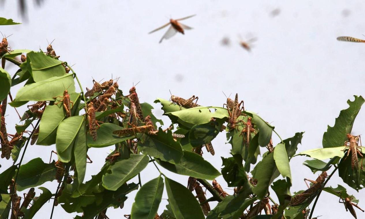 Gafanhotos descansam em uma árvore nas áreas residenciais de Allahabad Foto: SANJAY KANOJIA / AFP