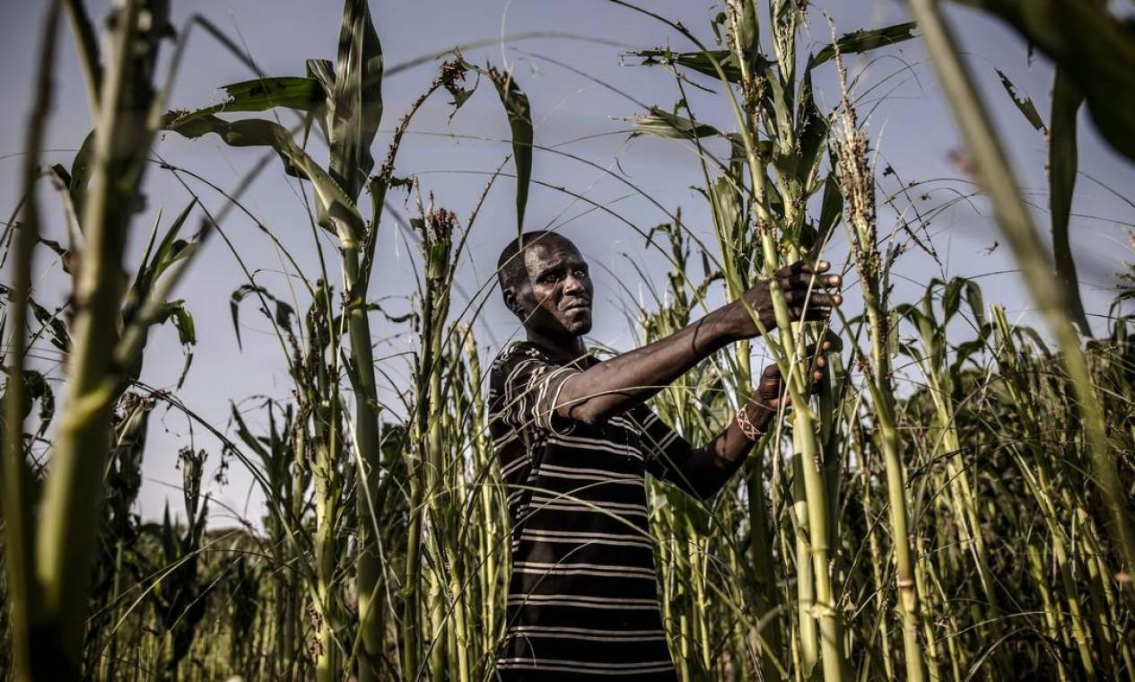 Fazendeiro avalia os danos de suas plantações de milho em Turkana, Quênia, em 2 de junho Foto: LUIS TATO / AFP