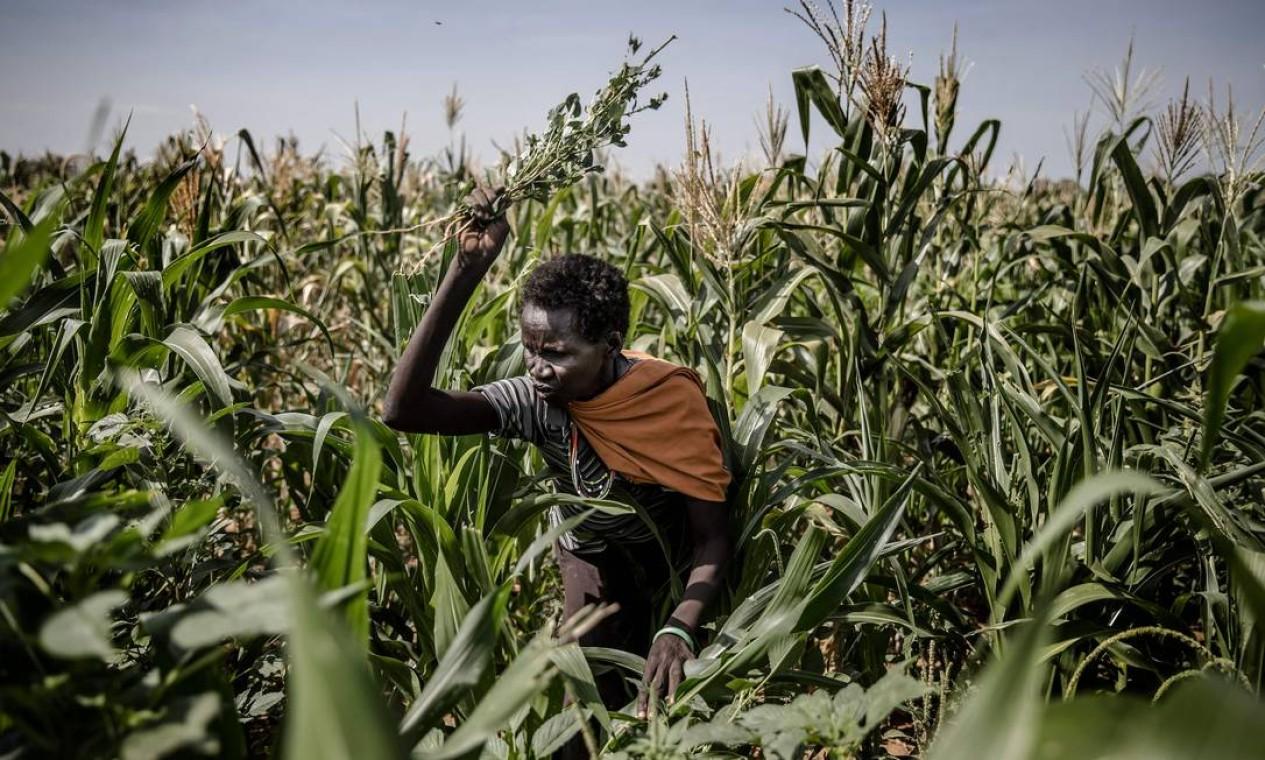 Um agricultor de Turkana tenta espantar gafanhotos de suas plantações de milho em Kalemngorok, no Condado de Turkana, no Quênia, em 3 de junho Foto: LUIS TATO / AFP