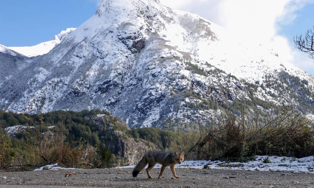 Uma raposa andina caminha na rota perto de Bariloche Foto: FRANCISCO RAMOS MEJIA / AFP