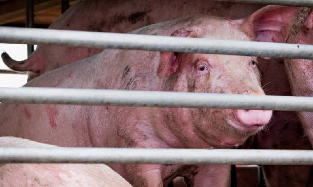 Cientistas descobriram evidências de infecção recente em pessoas que trabalhavam na indústria suína na China Foto: GETTY IMAGES