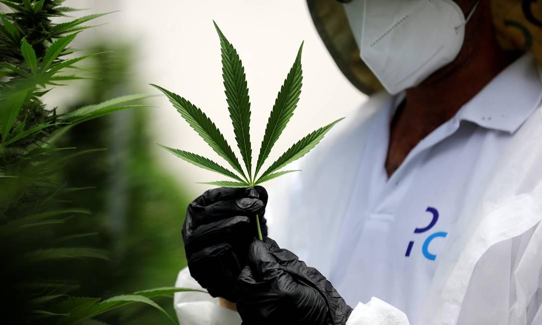 De acordo com especialistas, Cannabis sativa possui efeitos ansiolíticos Foto: AMIR COHEN / REUTERS