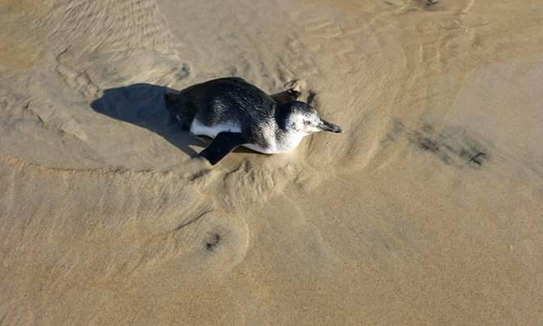 Segundo o Projeto de Monitoramento de Praias, foram encontrados 2.567 pinguins em mais de 3 mil quilômetros de costa este ano Foto: Ana Caroline Rohleder