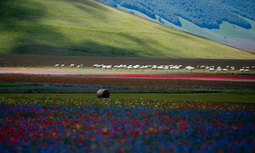 O gado pastando também faz parte do cenário dos campos floridos de Castelluccio di Norcia, na Úmbria, região central da Itália Foto: TIZIANA FABI / AFP