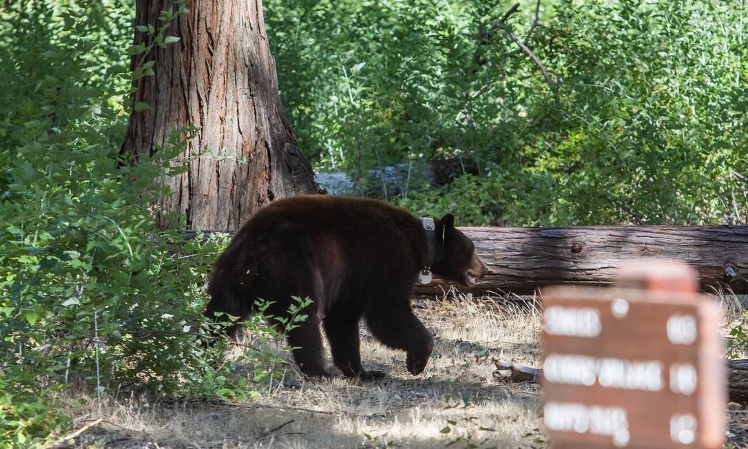 Um urso usando coleira de monitoramento caminha perto de um acampamento no Parque Nacional de Yosemite, Califórnia, Estados Unidos Foto: APU GOMES / AFP