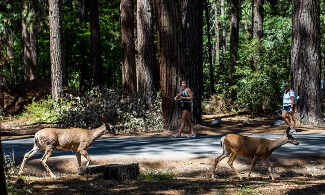 Os visitantes assistem a dois cervos caminhando no acampamento Upper Pines, no vale de Yosemite, no Parque Nacional de Yosemite, Califórnia, Foto: APU GOMES / AFP