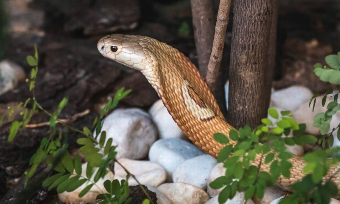 Brasil registra em média 28 mil casos por ano de acidentes com cobras Foto: Ivan Mattos/Zoológico de Brasília