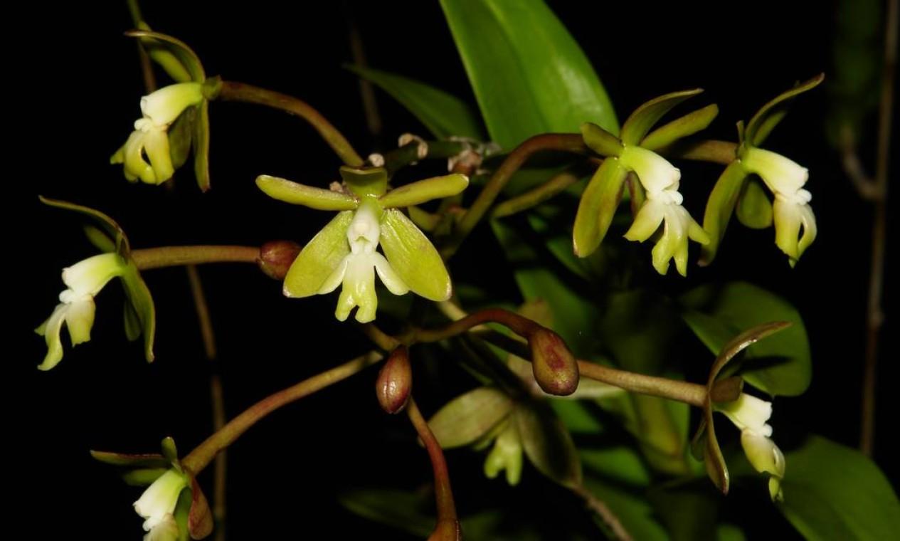 Orquídea Epidendrum ammophilum é uma das nativas da Mata Atlântica Foto: Claudio Fraga / Divulgação