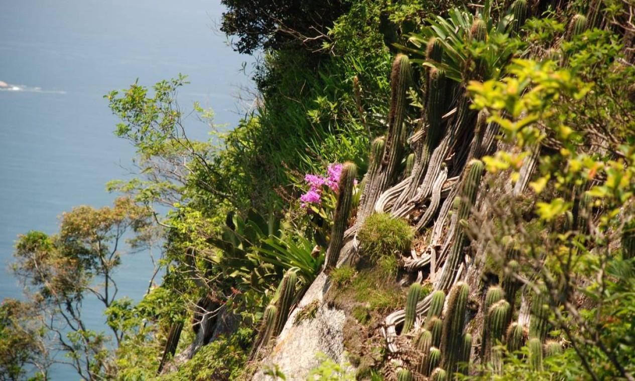 A Cattleya lobata ficou famosa nos anos 80, podendo ser considerada um símbolo do Morro do Pão de Açúcar. Hoje, é multiplicada em orquidários, ainda sendo extremamente valorizada Foto: Claudio Fraga / Divulgação